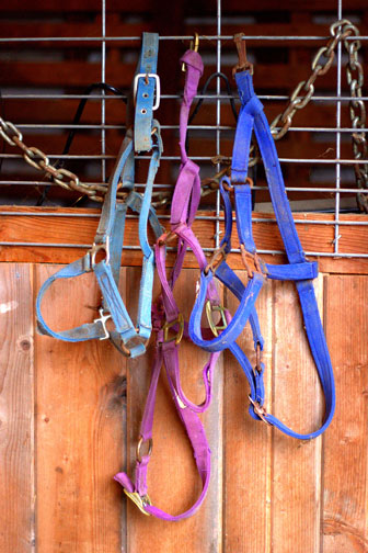 multicolored equine halters hanging in a barn
